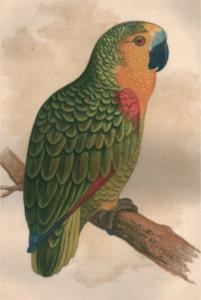 Amazona aestiva brasiliana (dipinto di A. Flydon, 1900) tratto da: Speaking parrots, dott. K. Russ