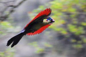 Il turaco del Ruwenzori, in volo lobrato verso un ficus