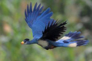 In volo si lancia verso spazi aperti il grande turaco delle montagne africane del Ruwenzori.