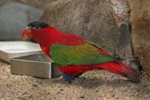 Lorius domicellus in cattività, mentre consuma il pasto a terra in una mangiatoia.