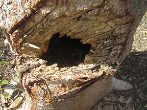 Tronco di Bulnesia arborea