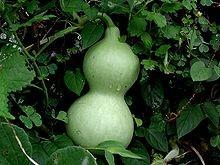 zucca di calabasch (Lagenaria siceraria)